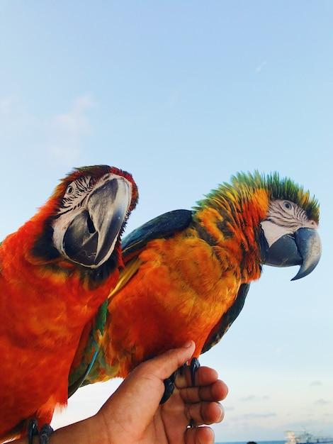 Man hält zwei bunte macaw papageien auf dem arm Kostenlose Fotos