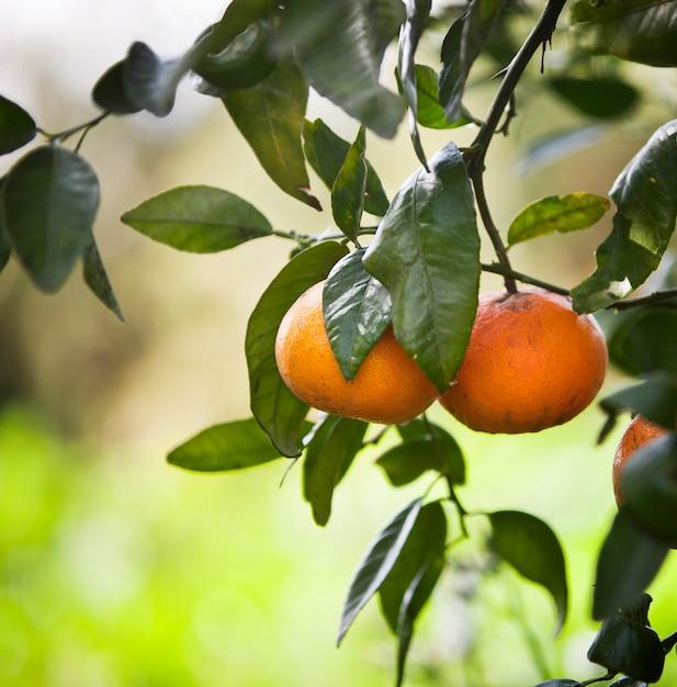 Mandarinenbäume mit früchten auf den niederlassungen. Premium Fotos