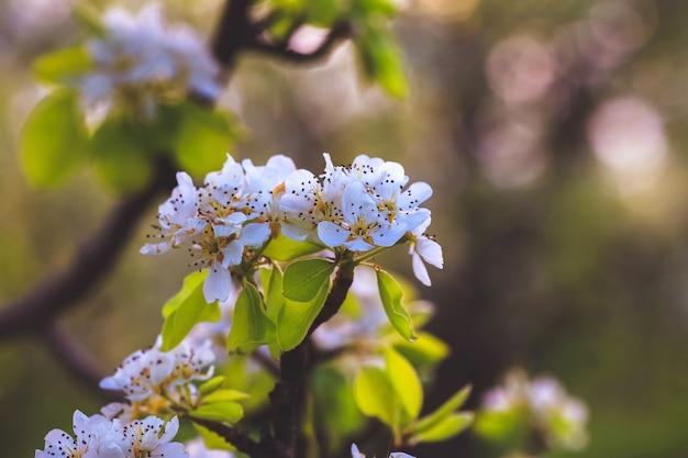 Mandelbaum im frühling, frische weiße blumen auf dem zweig des obstbaums Premium Fotos