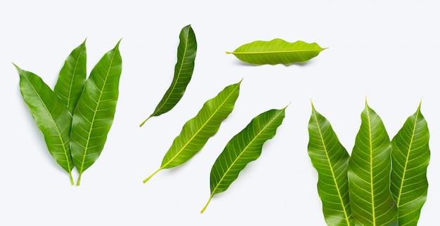 Mangoblätter auf weißem hintergrund Premium Fotos