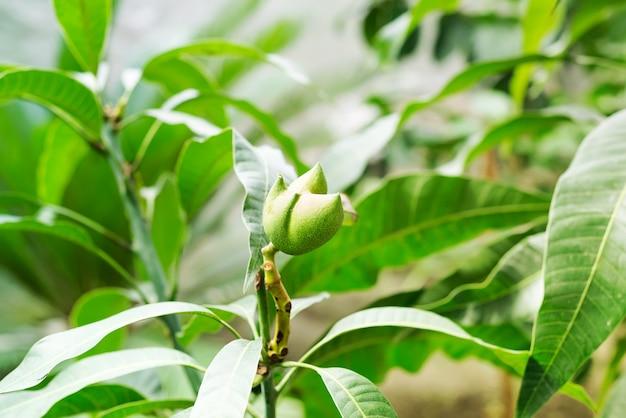 Mangofrüchte, die am baumast hängen Premium Fotos