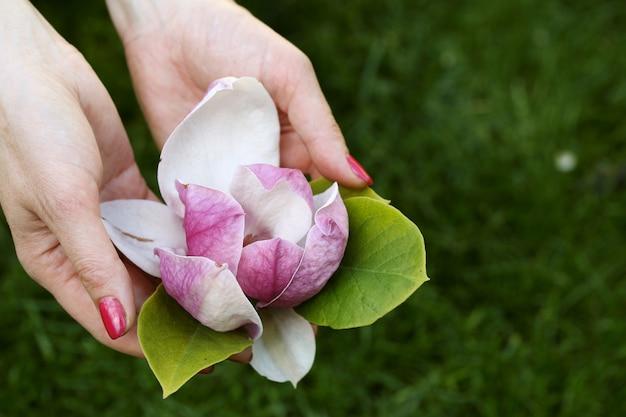 Mangolienblume in den weiblichen händen Premium Fotos
