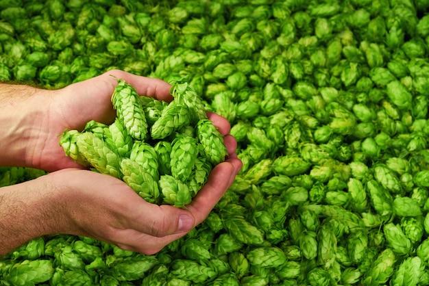 Mann, der grüne hopfenzapfen auf grünem hintergrund hält. organische zutaten für das bier machen Premium Fotos