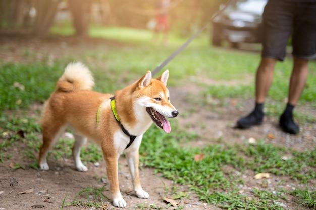 Mann, der shiba inu-hund auf der leine geht in den park nimmt Premium Fotos