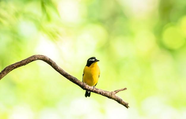 Mann des gelb-rumped flycatcher (ficedula zanthopygia) schöner vogel mit gehockt auf einer niederlassung Premium Fotos