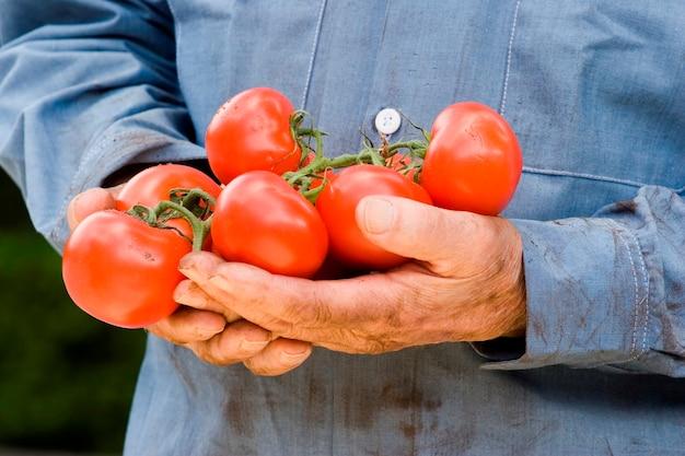 Mann hält tomaten Premium Fotos
