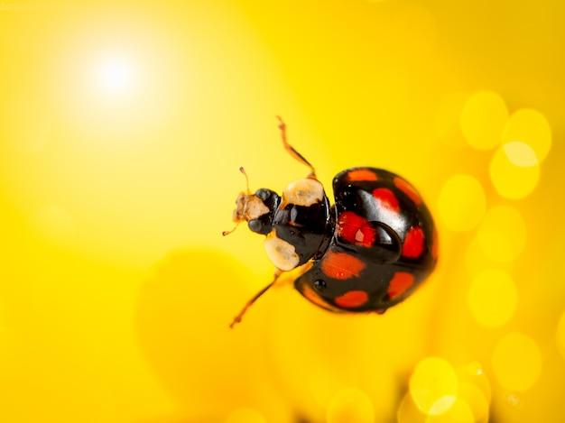 Marienkäfer auf einer gelben blume. makrofotografie. Premium Fotos