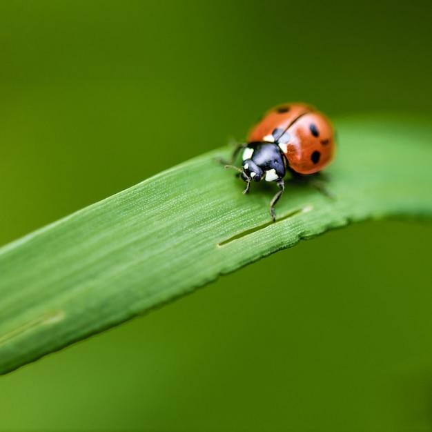 Marienkäfer auf gras makro nahaufnahme Premium Fotos