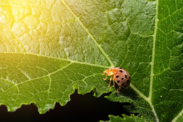 Marienkäfer, der auf einem grünen blatt mit sonne ligh sitzt Premium Fotos