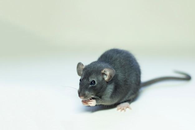 Maus auf einem grauen hält pfoten an der schnauze Premium Fotos