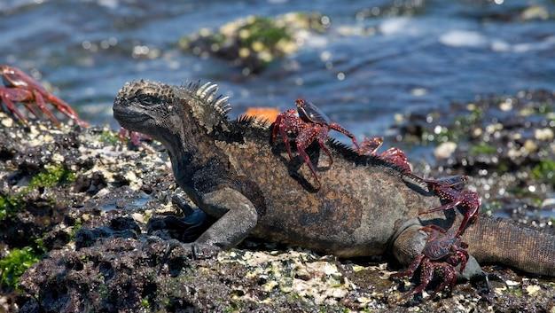 Meeresleguan mit einer roten krabbe auf dem rücken sitzt auf einem stein Premium Fotos