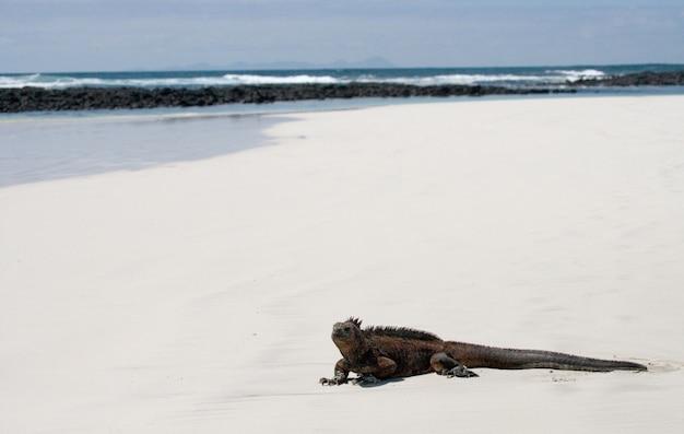 Meeresleguan sitzt auf dem weißen sand Premium Fotos