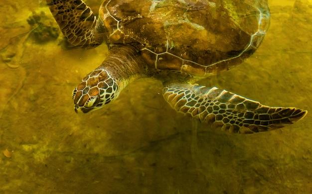Meeresschildkröte im erholungsteich warten darauf, ins meer zurückzukehren Premium Fotos