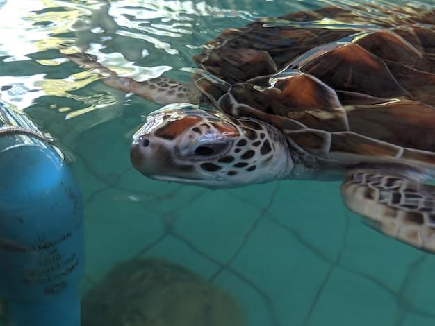Meeresschildkröten schwimmen in einem naturschutzteich Premium Fotos