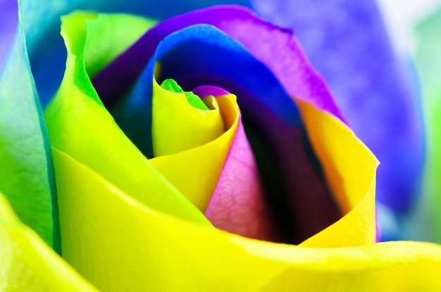 Mehrfarbige sehr schöne rose. rose bud nahaufnahme. Premium Fotos