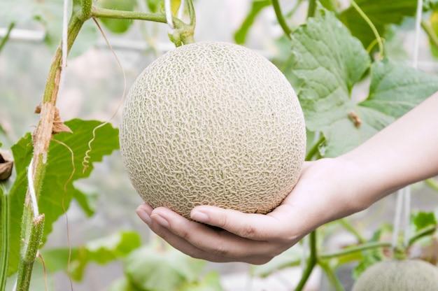 Melone in der hand in einem gewächshaus Premium Fotos