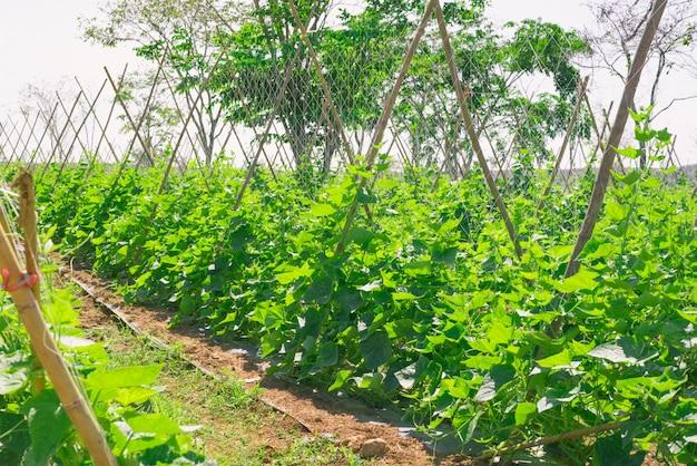 Melone melone pflanze Premium Fotos