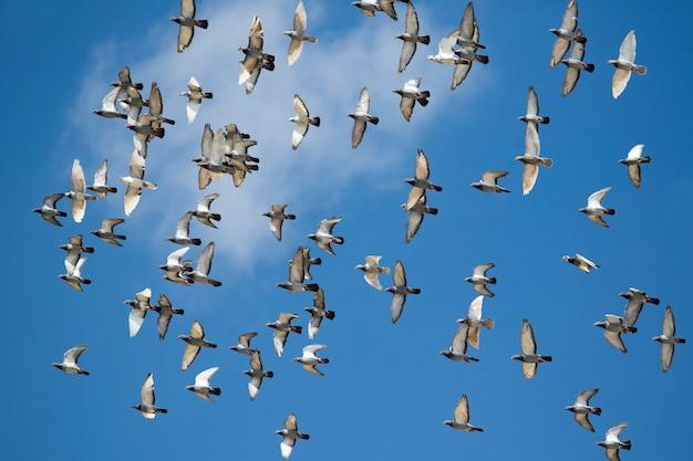 Menge der geschwindigkeit taubenvogelfliegen gegen klaren blauen himmel laufend Premium Fotos