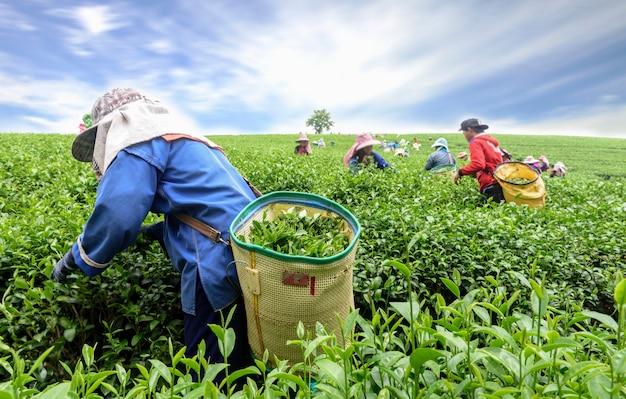 Menge des teepflückersammeln-teeblattes auf plantage, chiang rai, thailand Premium Fotos
