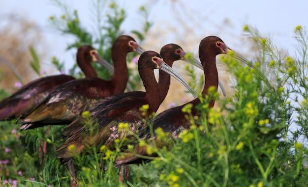 Menge von ibis während der frühlingsmigration Premium Fotos