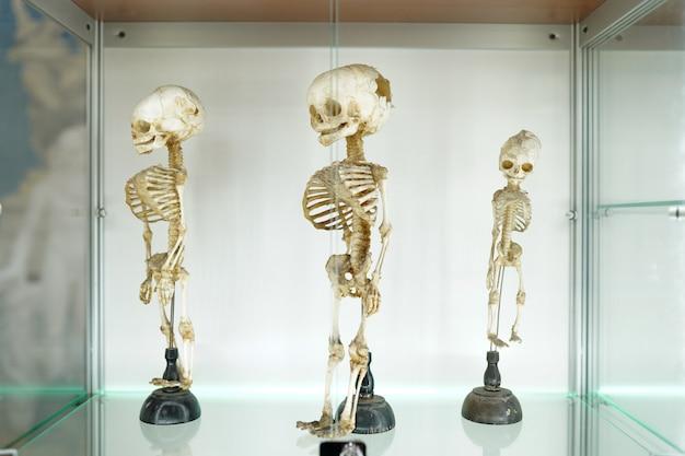 Menschliches medizinisches skelett der kinder auf weißem hintergrund Premium Fotos