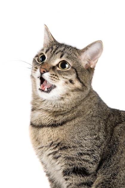 Miauen katze Premium Fotos