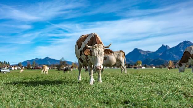 Milchvieh-feld Premium Fotos