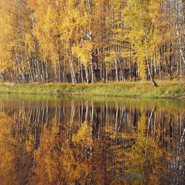 Milder herbst. birke mit gelben blättern reflektierte sich im fluss. Premium Fotos