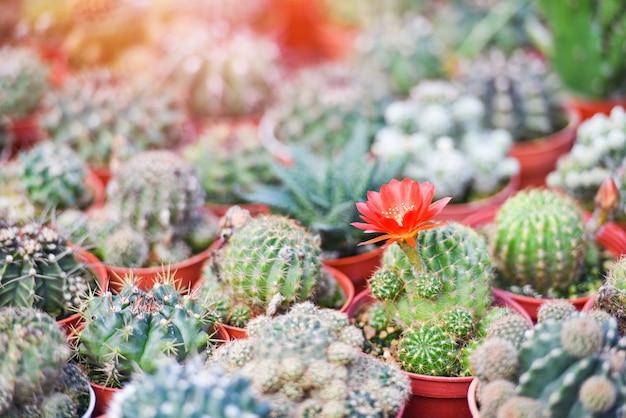 Miniaturkaktustopf verzieren im gartenbauernhof - verschiedene arten schöner kaktusmarkt oder kaktusblumenrot Premium Fotos