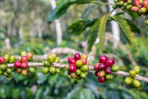 Mischen sie rote und grüne kaffeekirschen auf kaffeezweig Premium Fotos