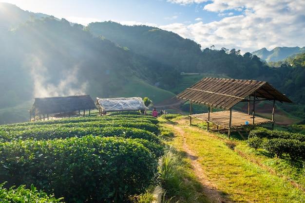 Mit stroh gedeckter pavillon der teeplantage am morgen Premium Fotos