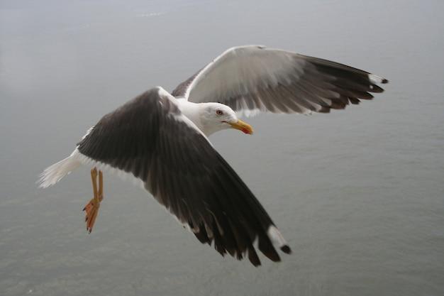 Möwe fliegen Premium Fotos