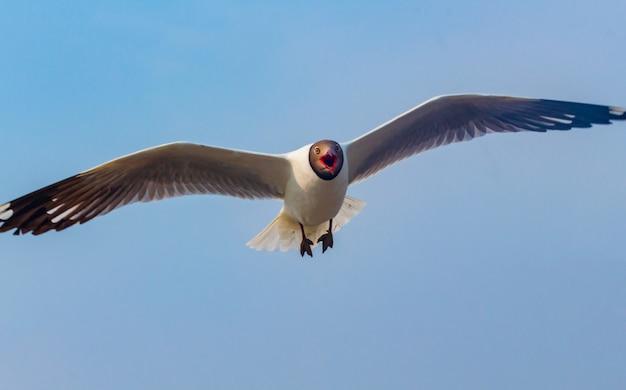 Möwe fliegt wunderschön mit einem blauen himmel im hintergrund Premium Fotos