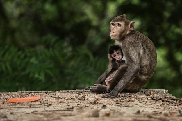 Monky mutter mit schätzchen am wald thailand Premium Fotos