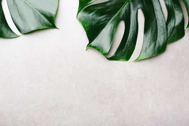 Monstera grünblätter auf grau Premium Fotos