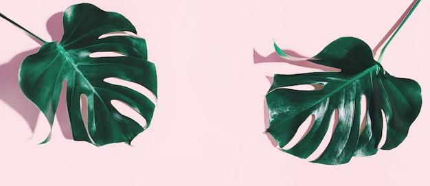 Monstera grüne blätter auf rosa Premium Fotos