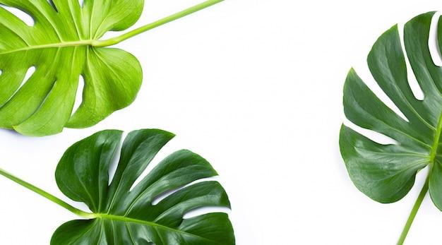 Monstera-pflanzenblätter auf weiß Premium Fotos