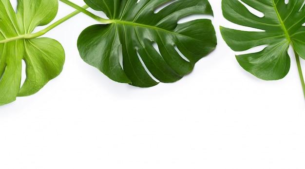 Monstera pflanzenblätter auf weißem hintergrund Premium Fotos