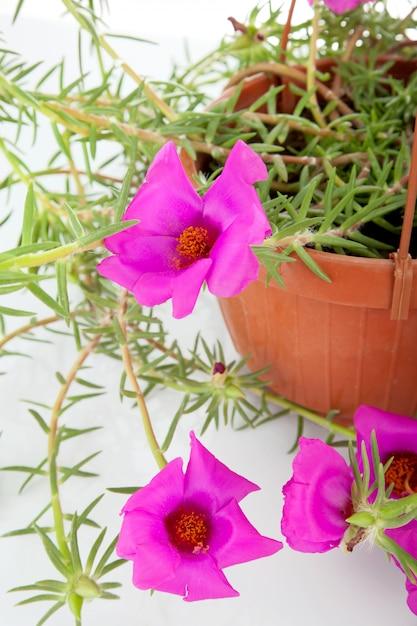 Moos rose portulaca grandiflora Premium Fotos