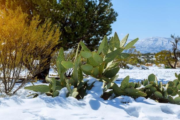 Morgenlicht auf einem schnee bedeckte kaktus in arizona Premium Fotos