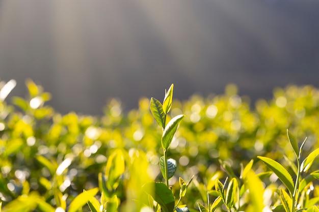 Morgens wachsen unter dem sonnenlicht teeblatttriebe. Premium Fotos