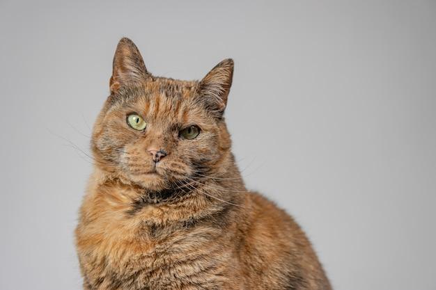 Mürrische katze, die die kamera mit einem weißen hintergrund betrachtet Kostenlose Fotos