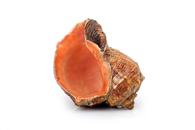 Muschelschale isoliert Premium Fotos