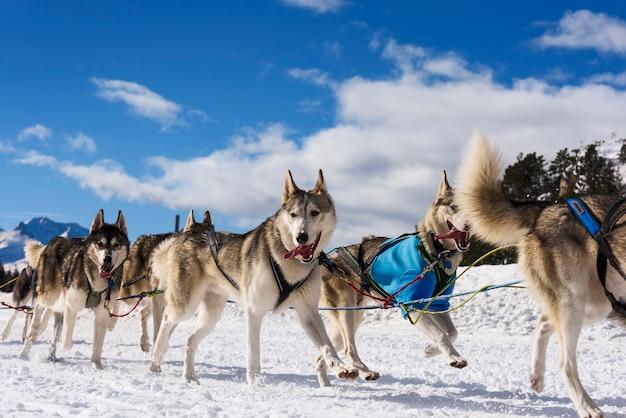 Musher dogteam fahrer und siberian husky beim schneewinter-wettkampfrennen im wald Premium Fotos