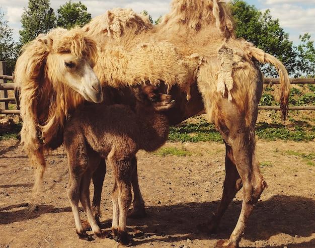 Mutter kamel mit baby, im freien, sommerzeit. familienleben. Premium Fotos