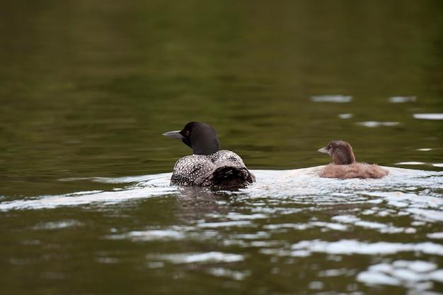 Mutter-loon mit ihrem entlein im wasser am lake of the woods, ontario Premium Fotos