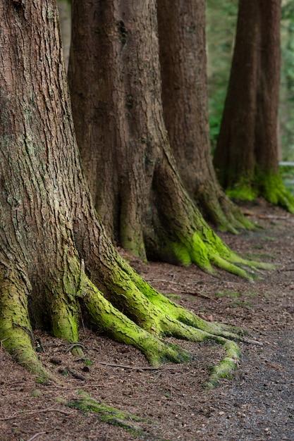 Mystisches holz, natürliches grünes moos auf den alten eichenwurzeln. natürlicher fantasiewald Premium Fotos