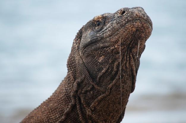 Näherer blick auf den komodo-drachen, der nur auf flores island, indonesien, unter geschütztem lebensraum im komodo-nationalpark lebt Premium Fotos