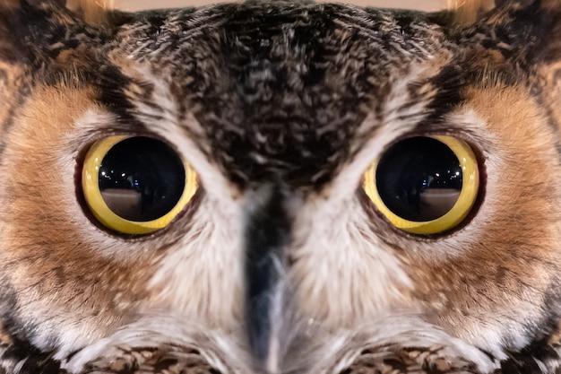 Nahaufnahme auf großer gehörnter owl face und auge Premium Fotos
