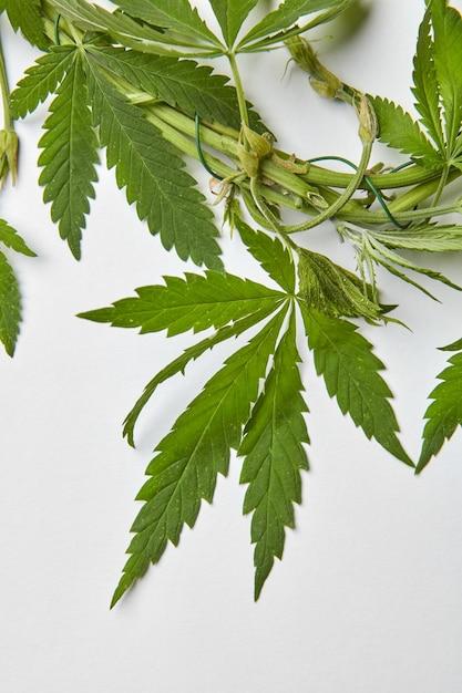 Nahaufnahme cannabisgrün natürliche blätter mit draht gebunden. Premium Fotos